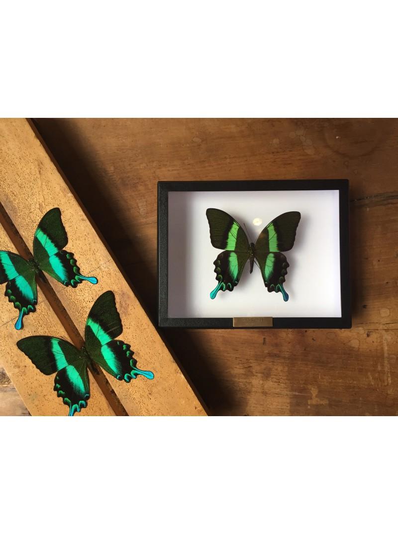 Papilio blumei sous cadre