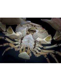 Eclaté de crabe à taches rouges