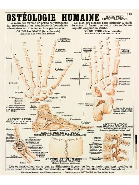 Ostéologie humaine